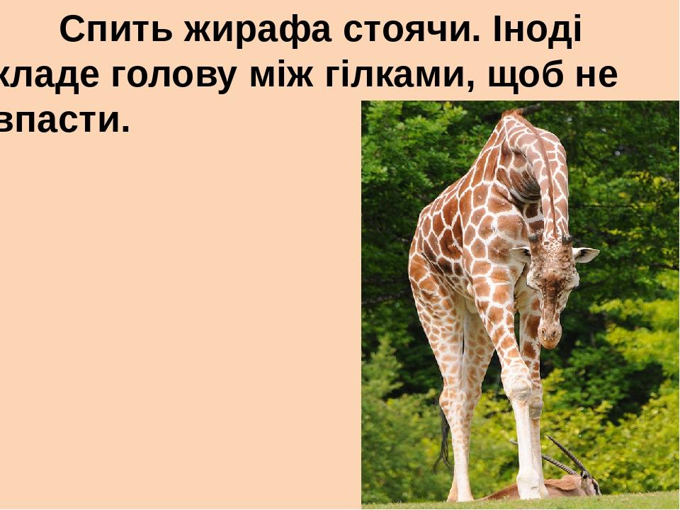 Спить жирафа стоячи. Іноді кладе голову між гілками, щоб не впасти.