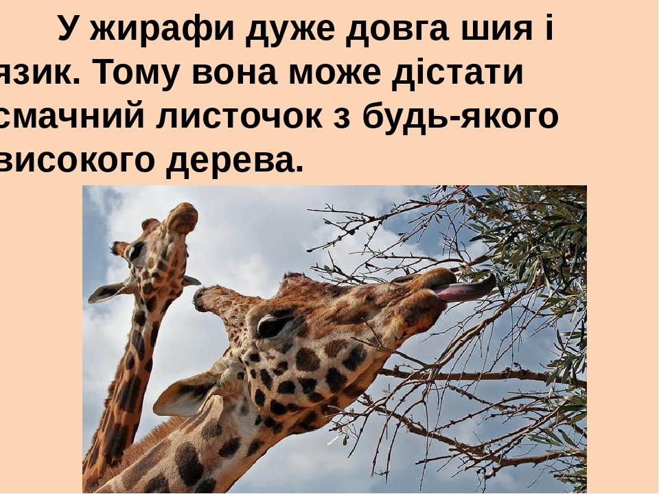 У жирафи дуже довга шия і язик. Тому вона може дістати смачний листочок з будь-якого високого дерева.