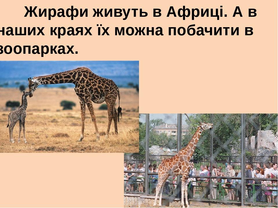 Жирафи живуть в Африці. А в наших краях їх можна побачити в зоопарках.