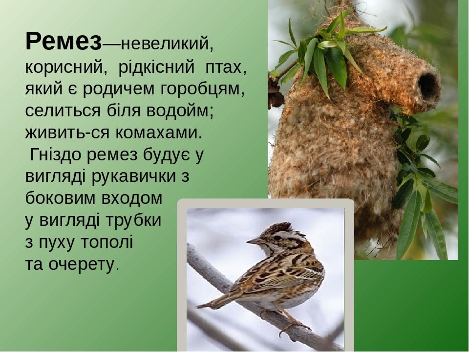 Ремез—невеликий, корисний, рідкісний птах, який є родичем горобцям, селиться біляводойм; живить-сякомахами. Гніздо ремез будує у вигляді рукавич...