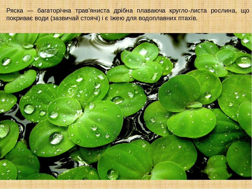 Ряска — багаторічна трав'яниста дрібна плаваюча кругло-листа рослина, що покриває води (зазвичай стоячі) і є їжею для водоплавних птахів.