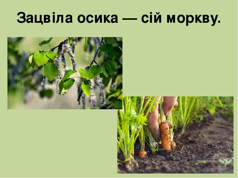 Зацвіла осика — сій моркву.