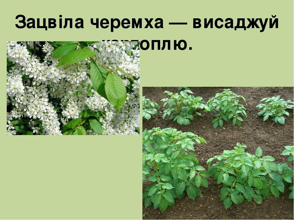 Зацвіла черемха — висаджуй картоплю.