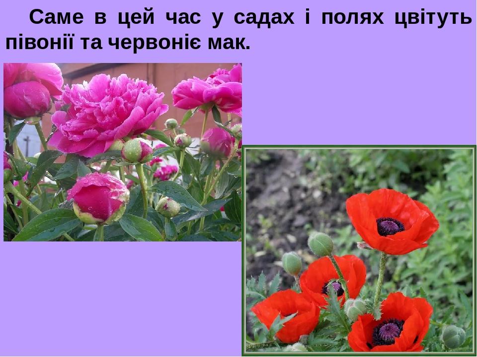 Саме в цей час у садах і полях цвітуть півонії та червоніє мак.