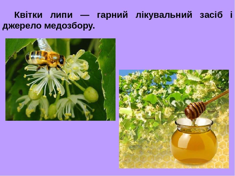 Квітки липи — гарний лікувальний засіб і джерело медозбору.