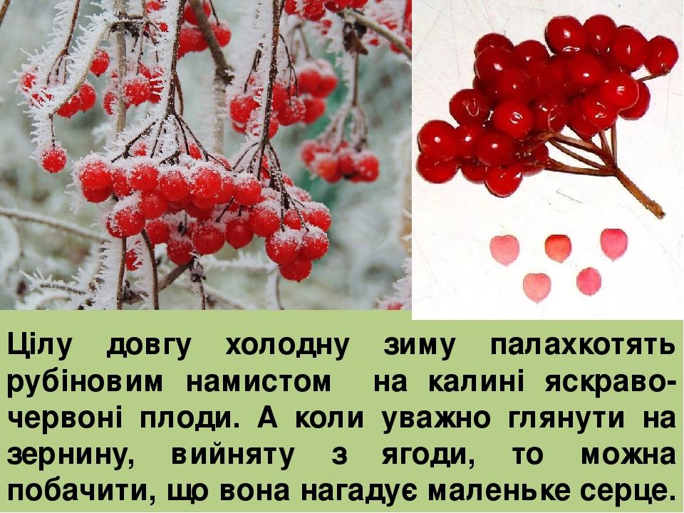 Цілу довгу холодну зиму палахкотять рубіновим намистом на калині яскраво-червоні плоди. А коли уважно глянути на зернину, вийняту з ягоди, то можна...