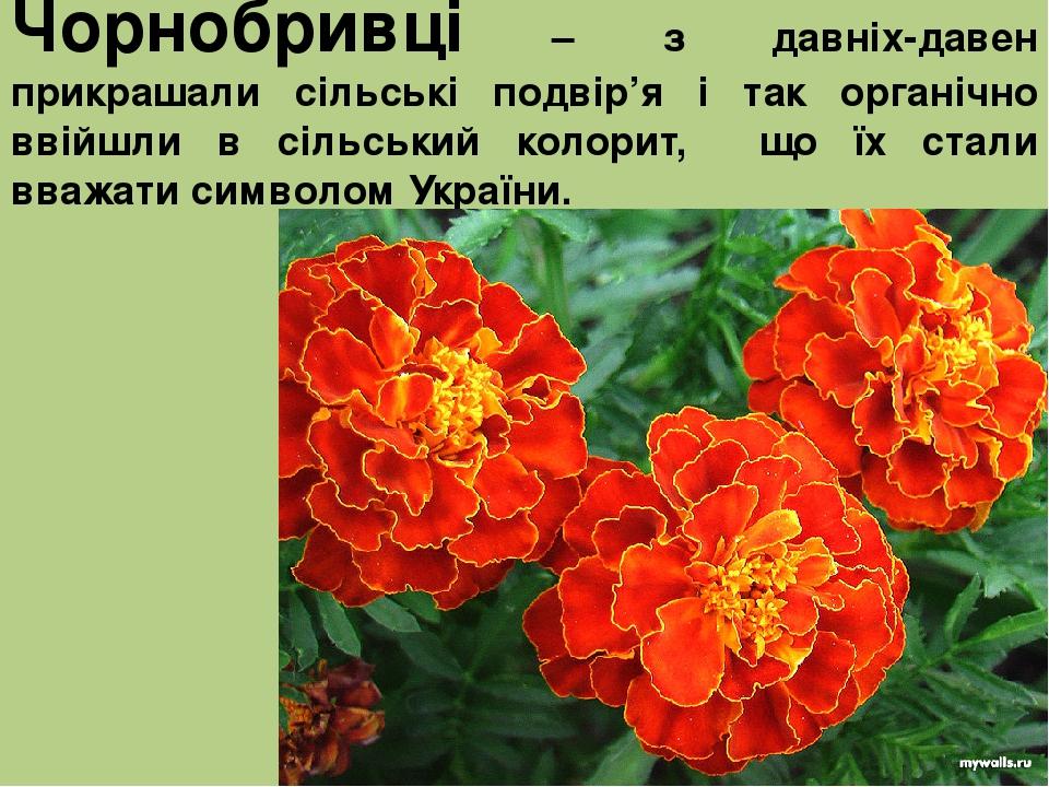 Чорнобривці – з давніх-давен прикрашали сільські подвір'я і так органічно ввійшли в сільський колорит, що їх стали вважати символом України.