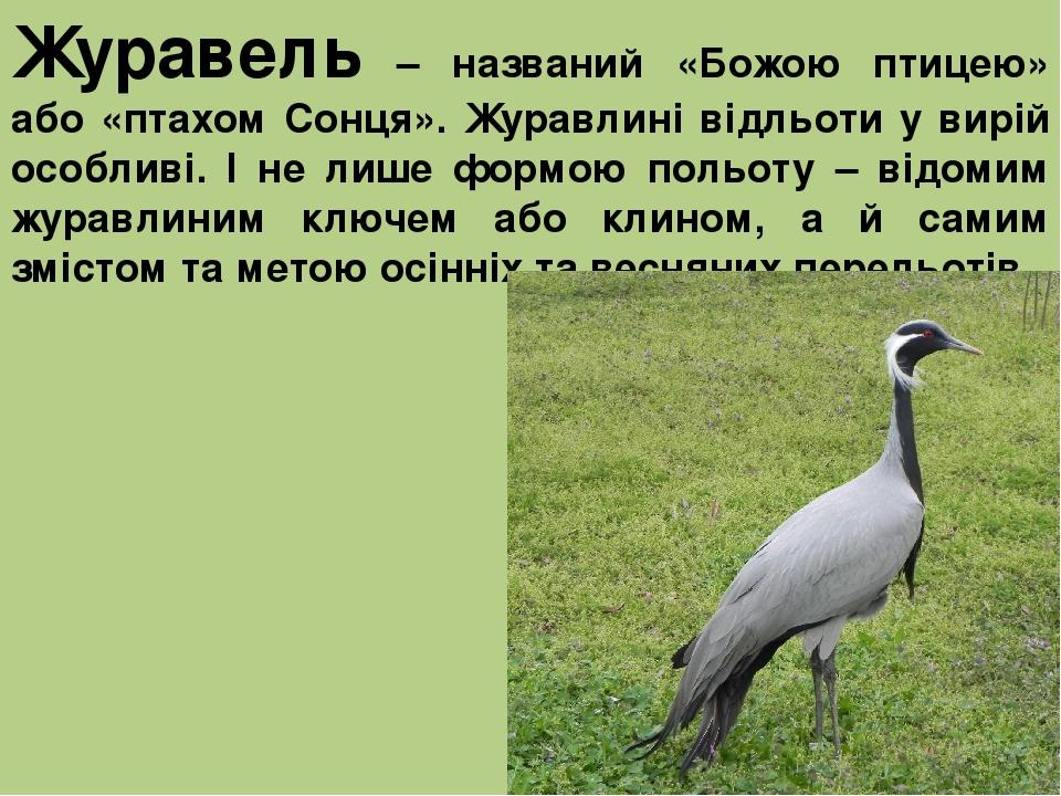 Журавель – названий «Божою птицею» або «птахом Сонця». Журавлині відльоти у вирій особливі. І не лише формою польоту – відомим журавлиним ключем аб...