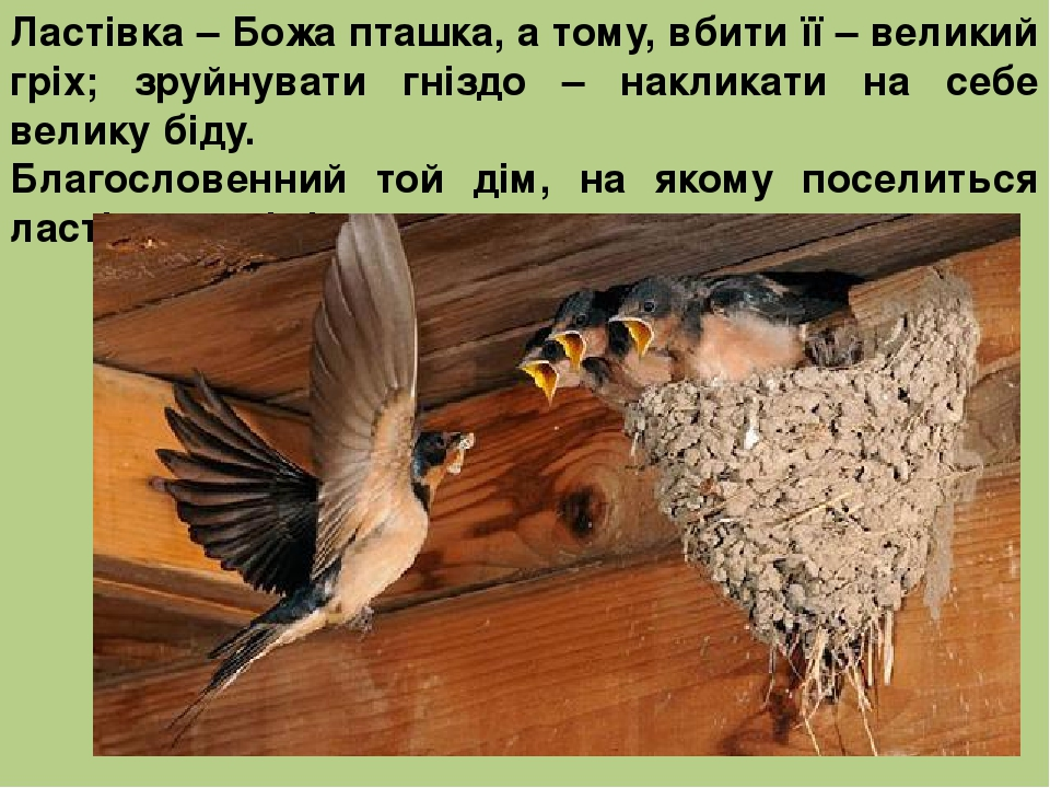 Ластівка – Божа пташка, а тому, вбити її – великий гріх; зруйнувати гніздо – накликати на себе велику біду. Благословенний той дім, на якому посели...