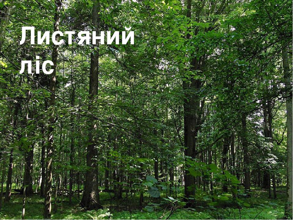 Листяний ліс