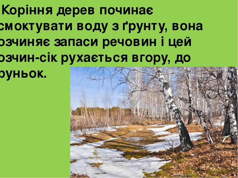 Коріння дерев починає всмоктувати воду з ґрунту, вона розчиняє запаси речовин і цей розчин-сік рухається вгору, до бруньок.