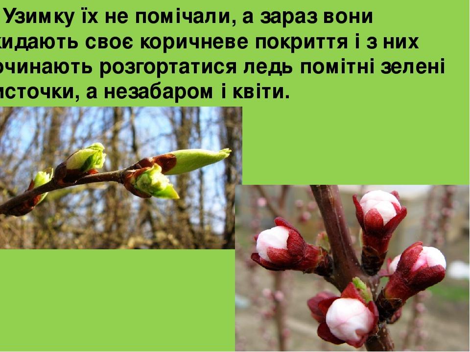 Узимку їх не помічали, а зараз вони скидають своє коричневе покриття і з них починають розгортатися ледь помітні зелені листочки, а незабаром і квіти.