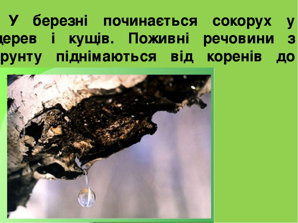 У березні починається сокорух у дерев і кущів. Поживні речовини з ґрунту піднімаються від коренів до бруньок.