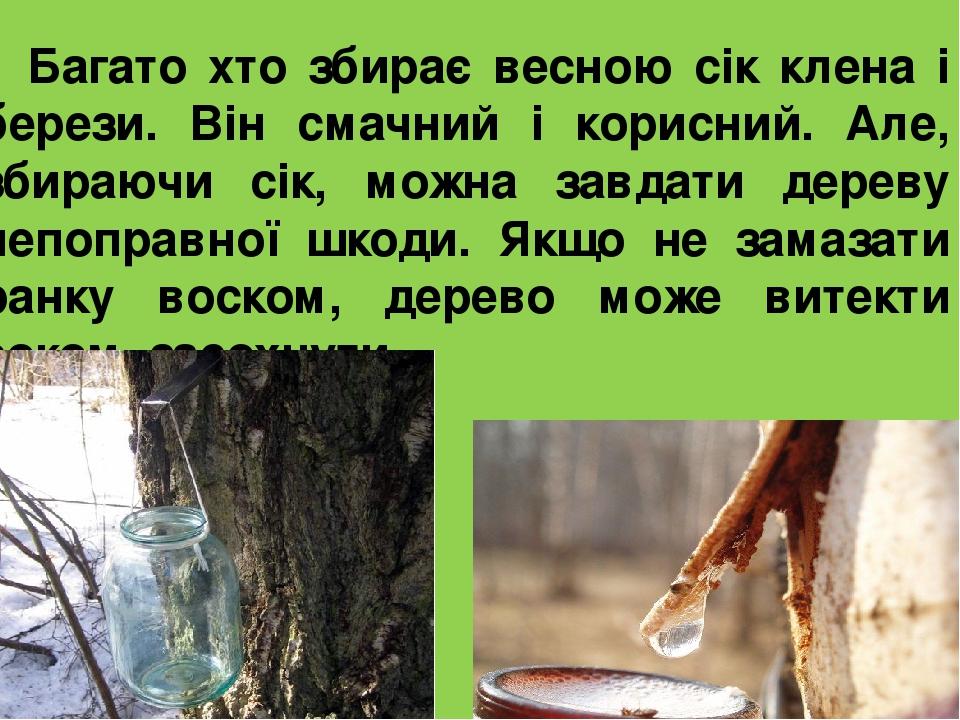 Багато хто збирає весною сік клена і берези. Він смачний і корисний. Але, збираючи сік, можна завдати дереву непоправної шкоди. Якщо не замазати ра...