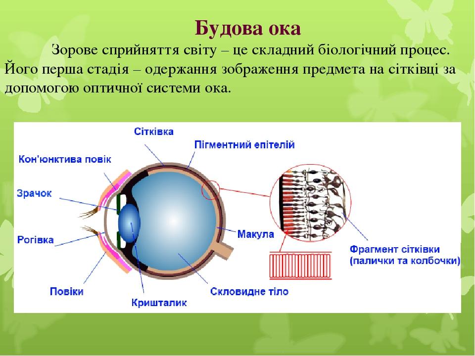Будова ока Зорове сприйняття світу – це складний біологічний процес. Його перша стадія – одержання зображення предмета на сітківці за допомогою опт...