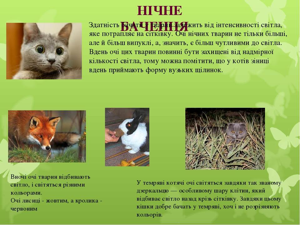 Вночі очі тварин відбивають світло, і світяться різними кольорами. Очі лисиці - жовтим, а кролика - червоним У темряві котячі очі світяться завдяки...