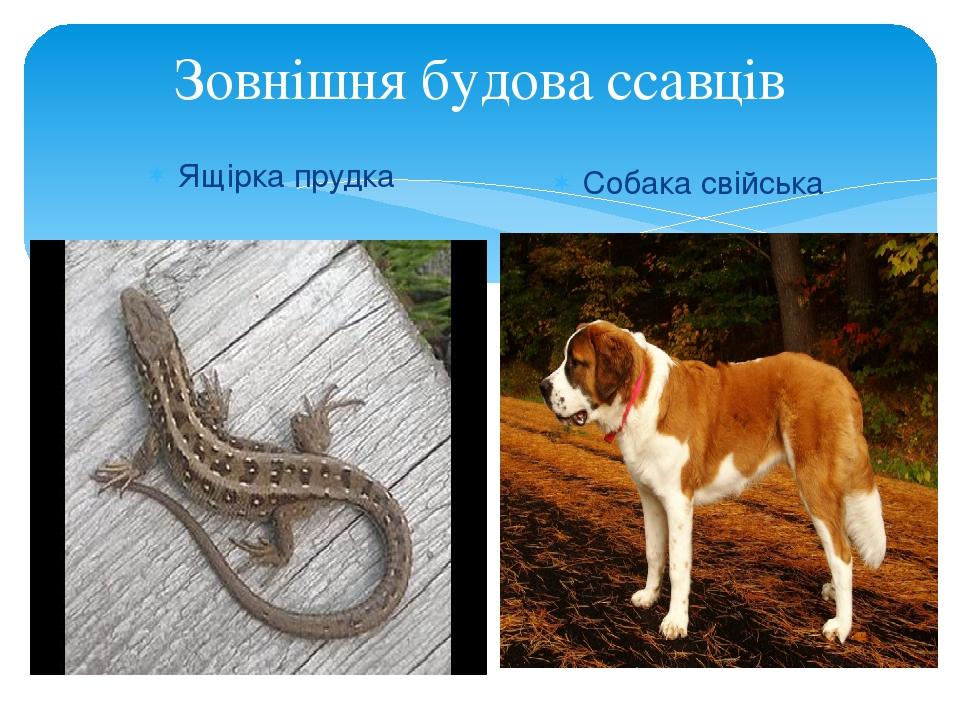 Зовнішня будова ссавців Ящірка прудка Собака свійська