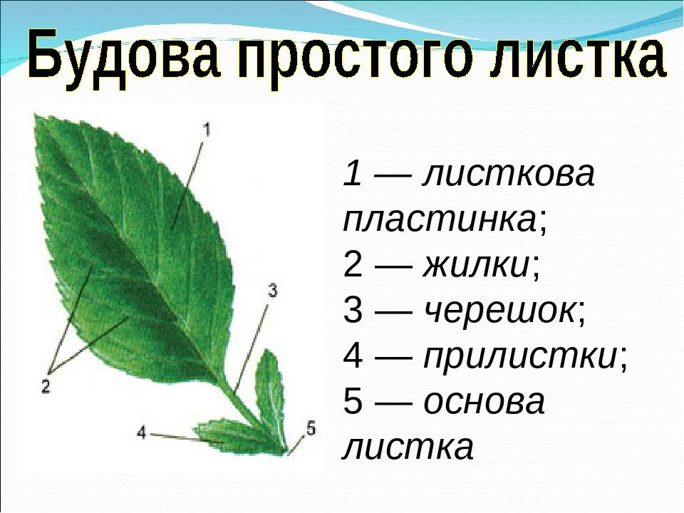 1 — листкова пластинка; 2 — жилки; 3 — черешок; 4 — прилистки; 5 — основа листка