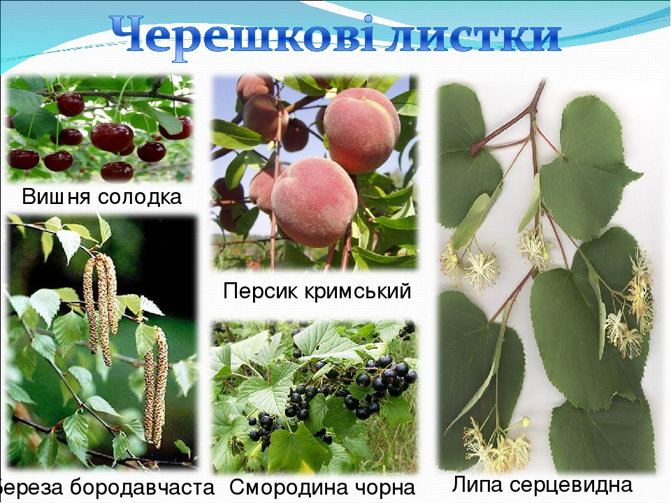 Вишня солодка Персик кримський Липа серцевидна Береза бородавчаста Смородина чорна