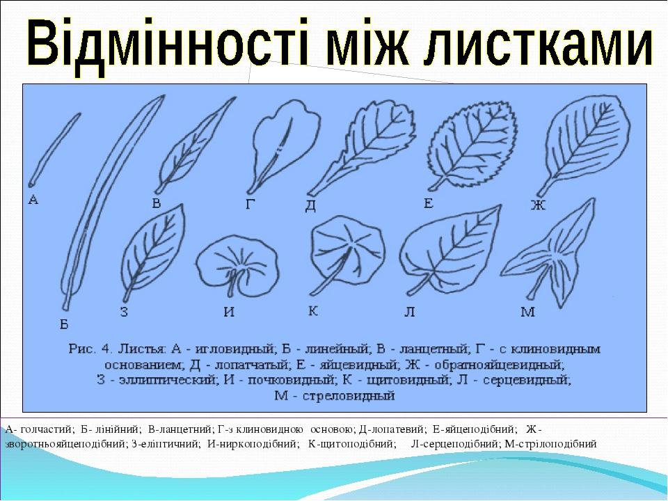 А- голчастий; Б- лінійний; В-ланцетний; Г-з клиновидною основою; Д-лопатевий; Е-яйцеподібний; Ж-зворотньояйцеподібний; З-еліптичний; И-ниркоподібни...