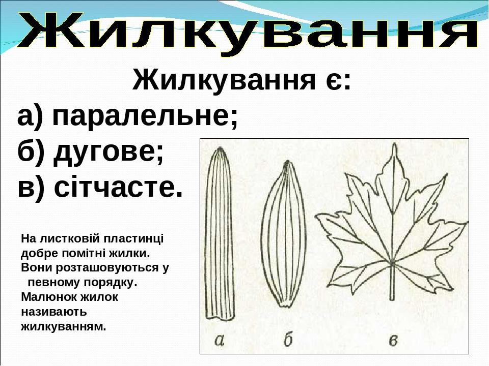 Жилкування є: а) паралельне; б) дугове; в) сітчасте. На листковій пластинці добре помітні жилки. Вони розташовуються у певному порядку. Малюнок жил...
