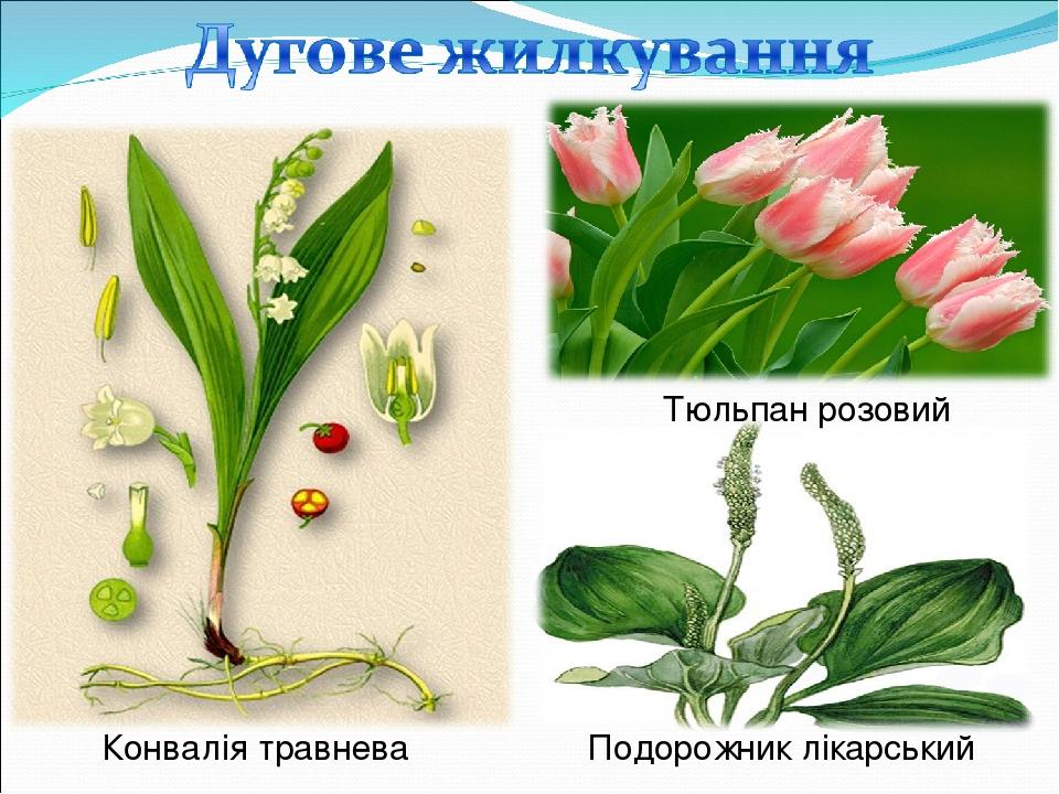 Конвалія травнева Подорожник лікарський Тюльпан розовий