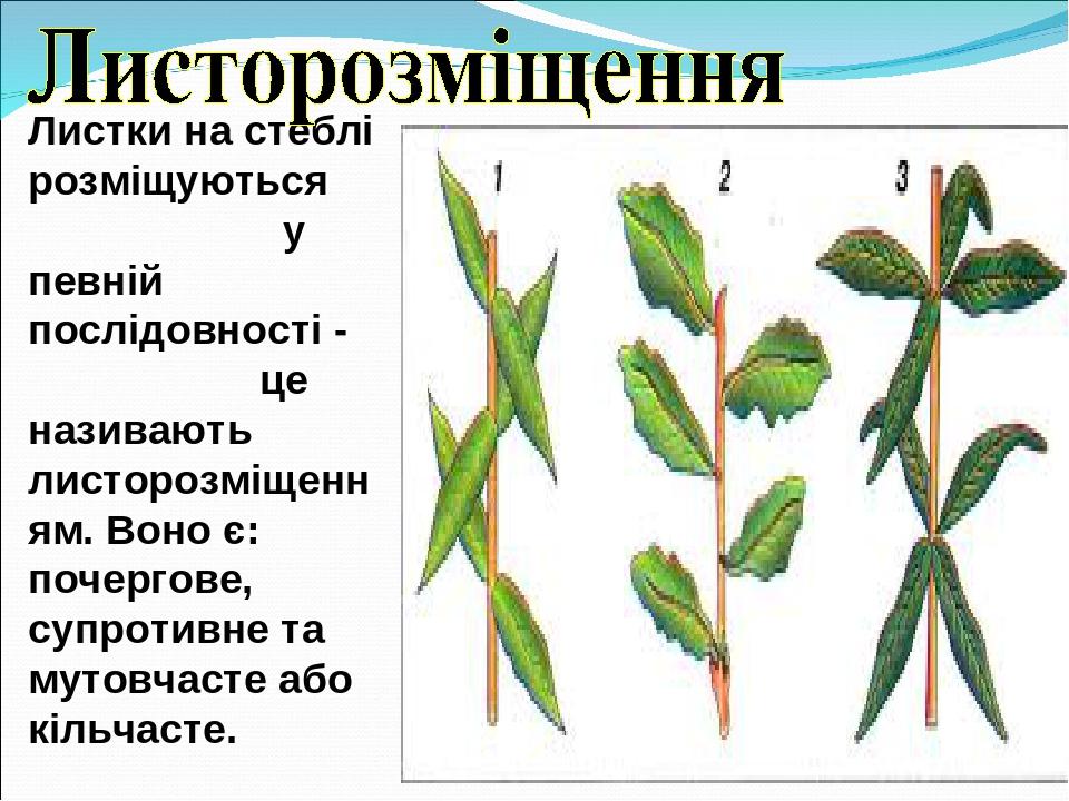 Листки на стеблі розміщуються у певній послідовності - це називають листорозміщенням. Воно є: почергове, супротивне та мутовчасте або кільчасте.