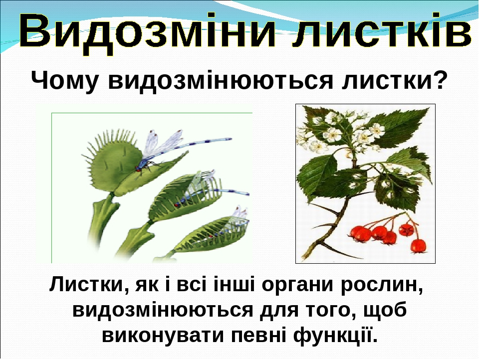 Чому видозмінюються листки? Листки, як і всі інші органи рослин, видозмінюються для того, щоб виконувати певні функції.