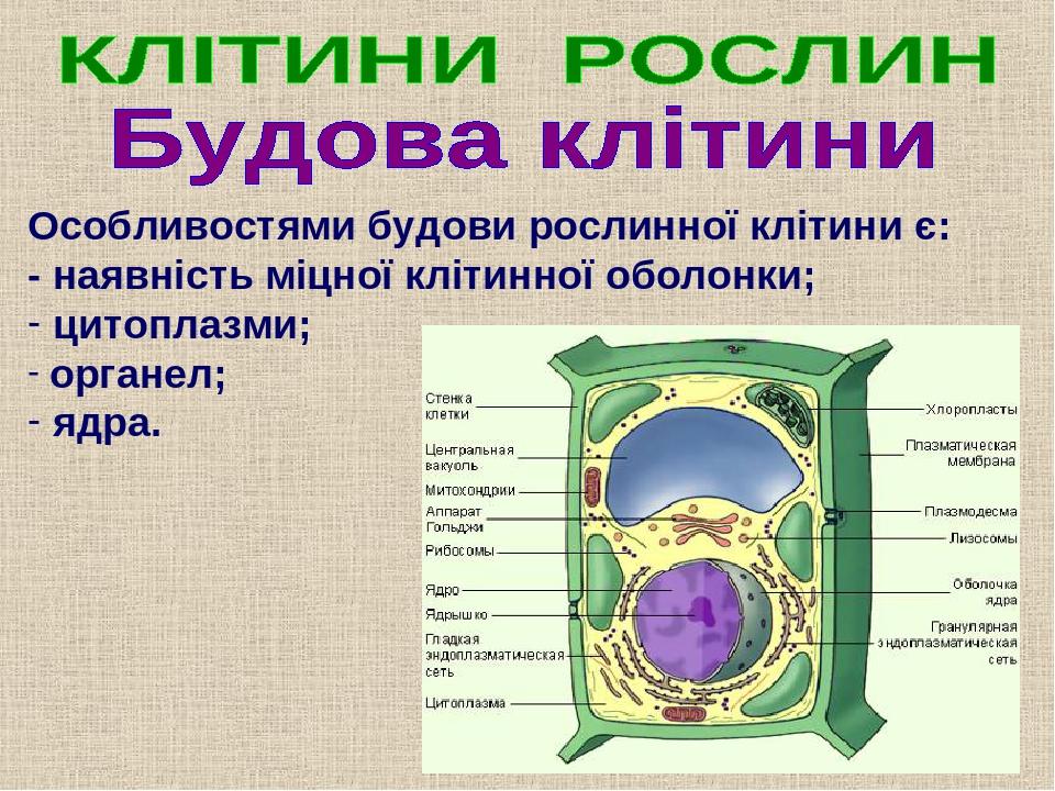 Особливостями будови рослинної клітини є: - наявність міцної клітинної оболонки; цитоплазми; органел; ядра.