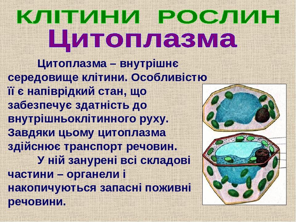 Цитоплазма – внутрішнє середовище клітини. Особливістю її є напіврідкий стан, що забезпечує здатність до внутрішньоклітинного руху. Завдяки цьому ц...