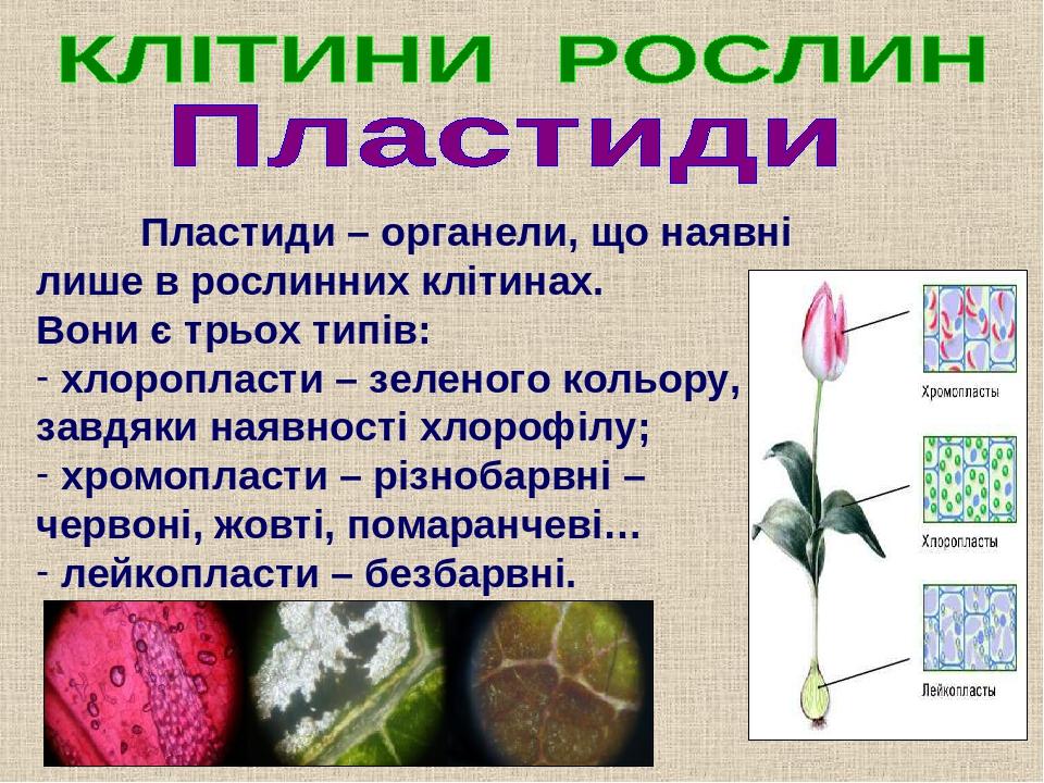 Пластиди – органели, що наявні лише в рослинних клітинах. Вони є трьох типів: хлоропласти – зеленого кольору, завдяки наявності хлорофілу; хромопла...