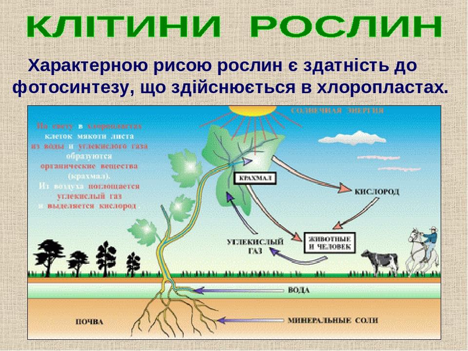 Характерною рисою рослин є здатність до фотосинтезу, що здійснюється в хлоропластах.