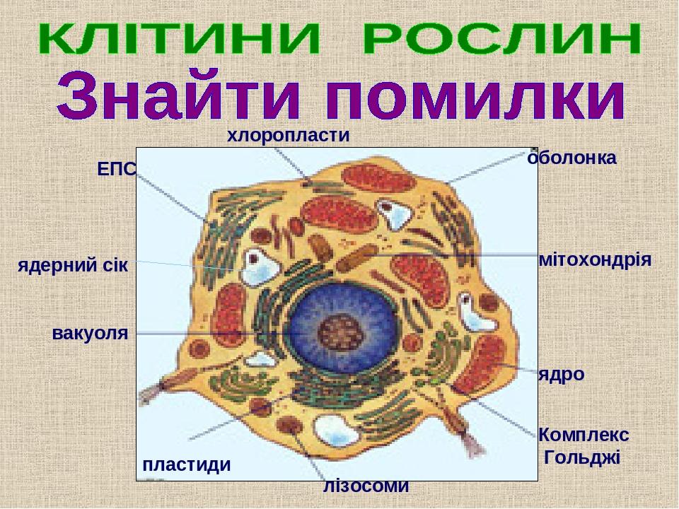 ЕПС хлоропласти вакуоля пластиди лізосоми Комплекс Гольджі оболонка мітохондрія ядро ядерний сік