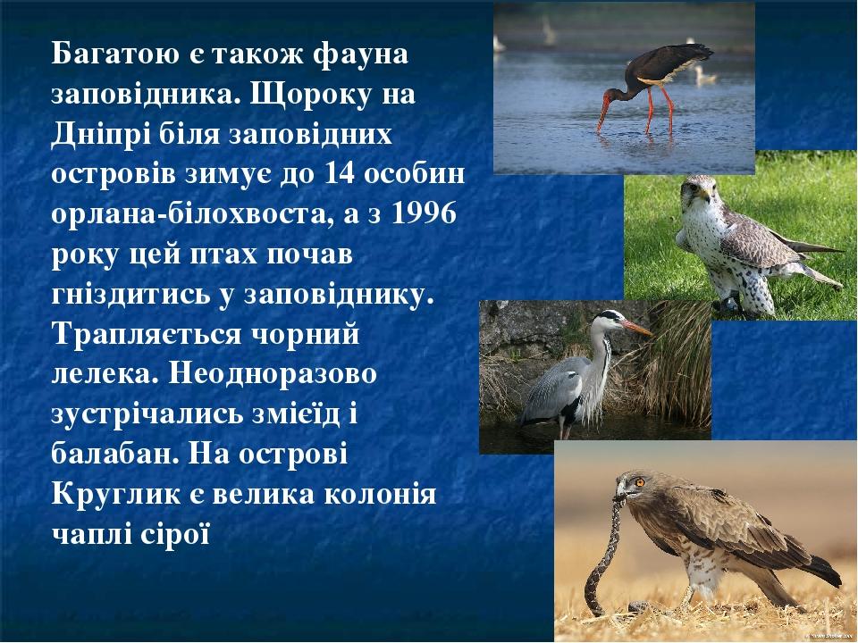 Багатою є також фауна заповідника. Щороку на Дніпрі біля заповідних островів зимує до 14 особин орлана-білохвоста, а з 1996 року цей птах почав гні...
