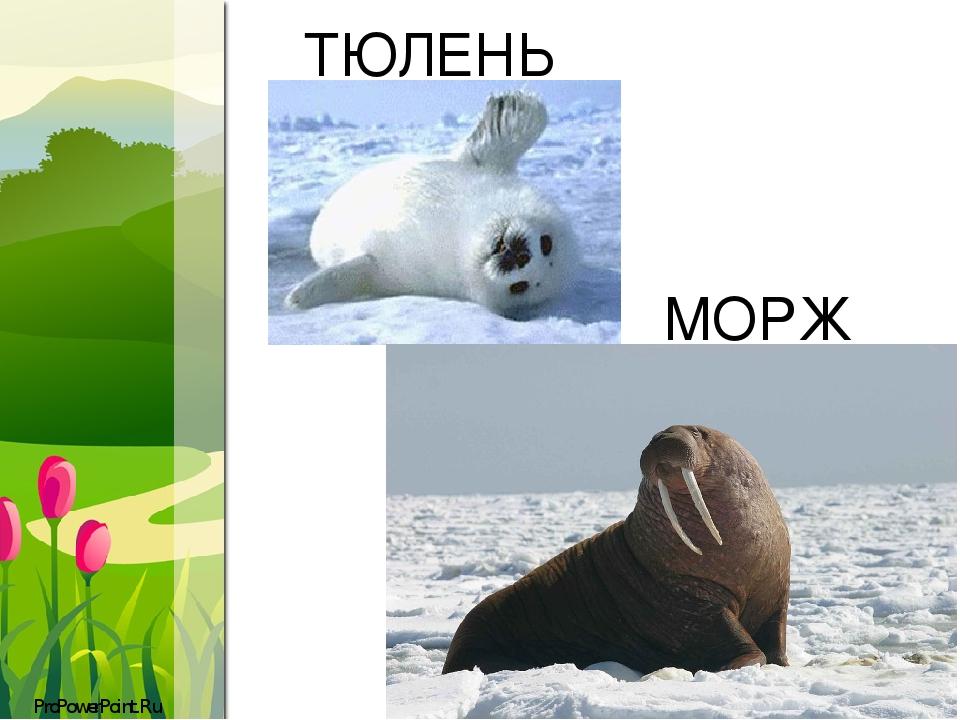 ТЮЛЕНЬ МОРЖ ProPowerPoint.Ru
