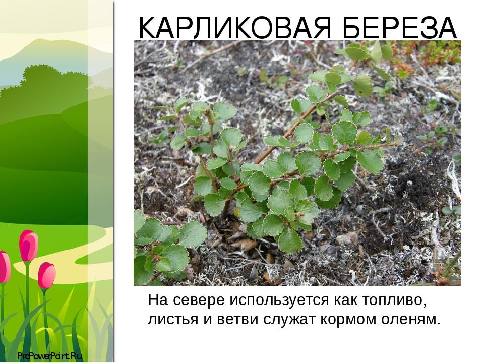 КАРЛИКОВАЯ БЕРЕЗА На севере используется как топливо, листья и ветви служат кормомоленям. ProPowerPoint.Ru
