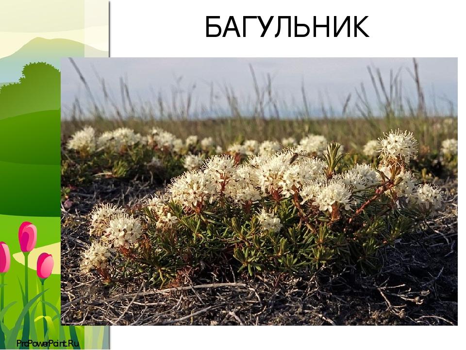 БАГУЛЬНИК ProPowerPoint.Ru