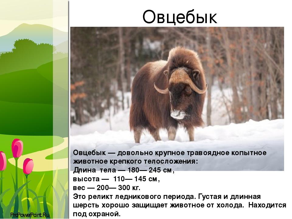 Овцебык Овцебык — довольно крупное травоядное копытное животное крепкого телосложения: Длина тела — 180— 245 см, высота — 110— 145 см, вес — 200— 3...