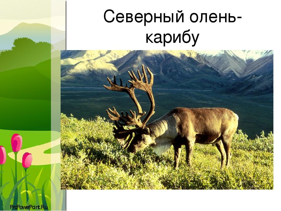 Северный олень- карибу ProPowerPoint.Ru