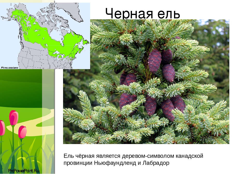 Черная ель Ель чёрная являетсядеревом-символомканадскойпровинцииНьюфаундленд и Лабрадор ProPowerPoint.Ru