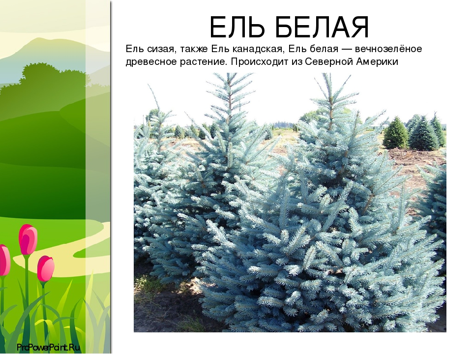 ЕЛЬ БЕЛАЯ Eль сизая, также Ель канадская, Ель белая— вечнозелёное древесное растение. Происходит изСеверной Америки ProPowerPoint.Ru