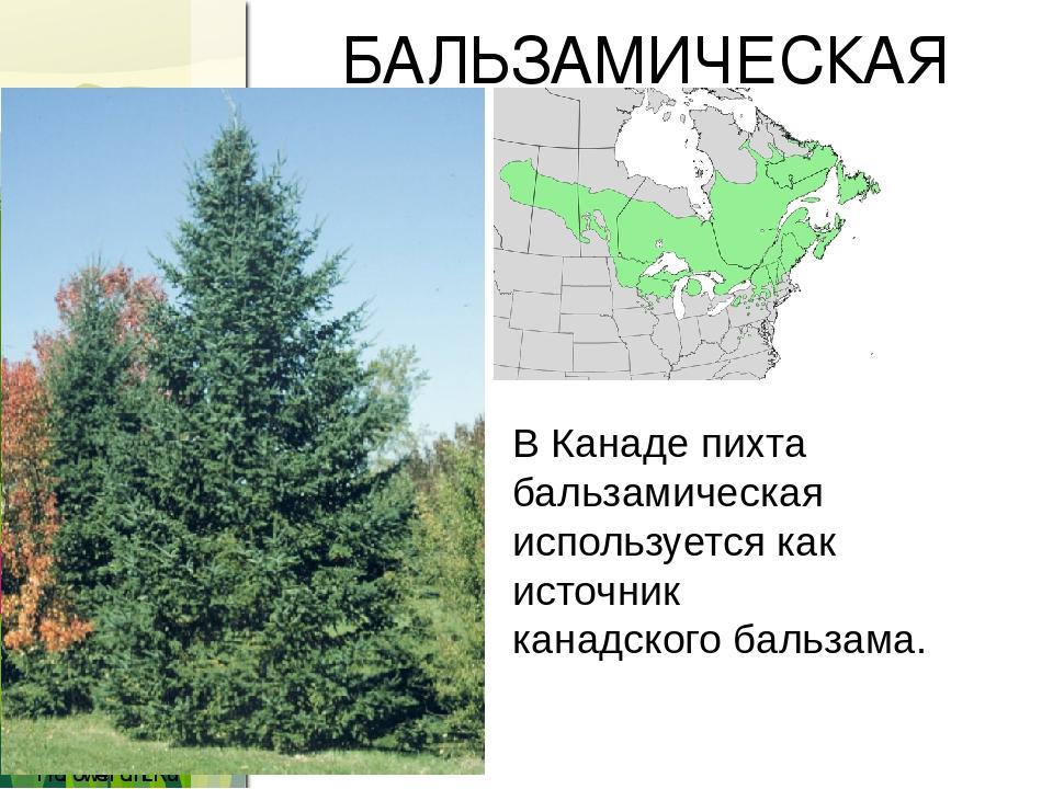 БАЛЬЗАМИЧЕСКАЯ ПИХТА В Канаде пихта бальзамическая используется как источникканадского бальзама. ProPowerPoint.Ru