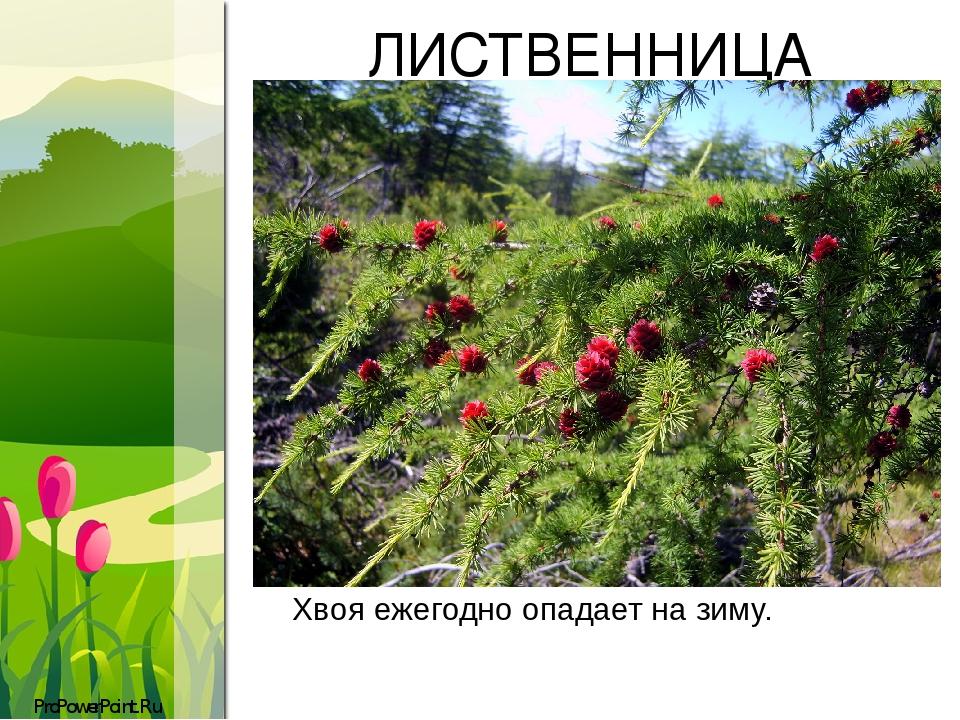 ЛИСТВЕННИЦА Хвояежегодно опадает на зиму. ProPowerPoint.Ru
