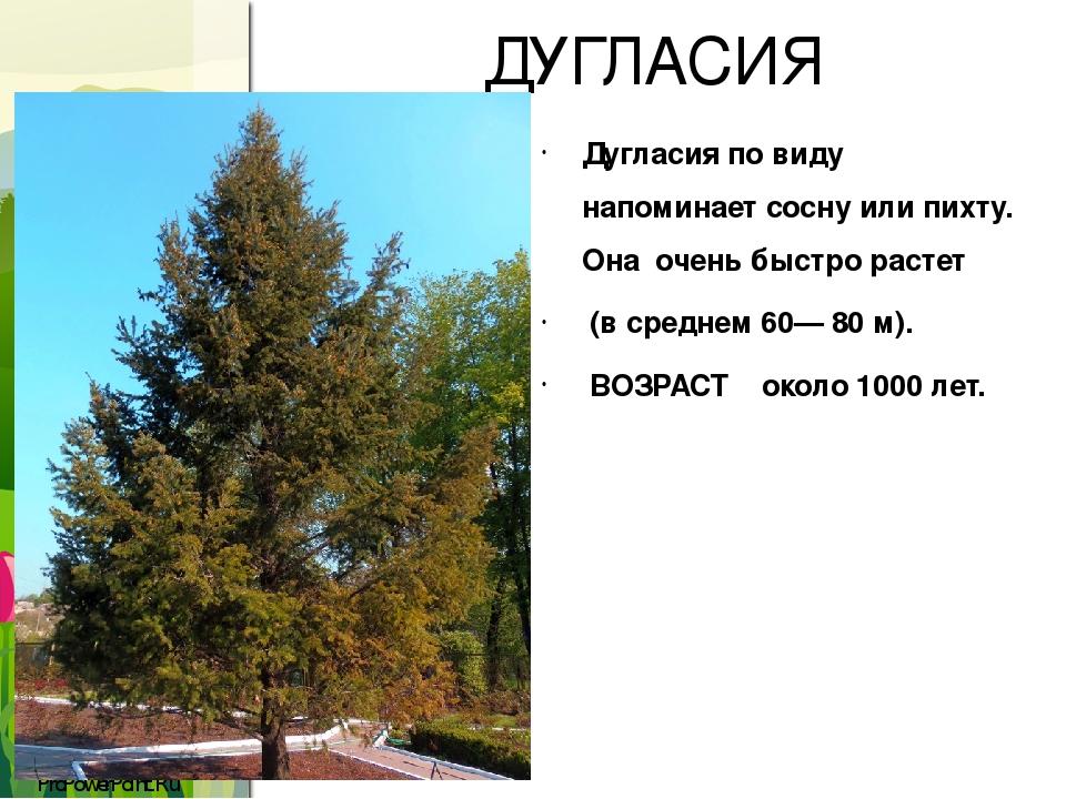 ДУГЛАСИЯ Дугласия по виду напоминает сосну или пихту. Она очень быстро растет (в среднем 60— 80 м). ВОЗРАСТ около 1000 лет. ProPowerPoint.Ru