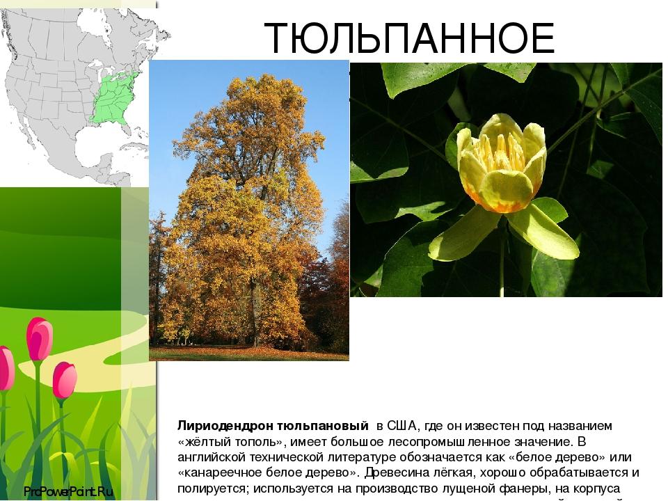 ТЮЛЬПАННОЕ ДЕРЕВО Лириодендрон тюльпановый в США, где он известен под названием «жёлтый тополь», имеет большое лесопромышленное значение. В англий...