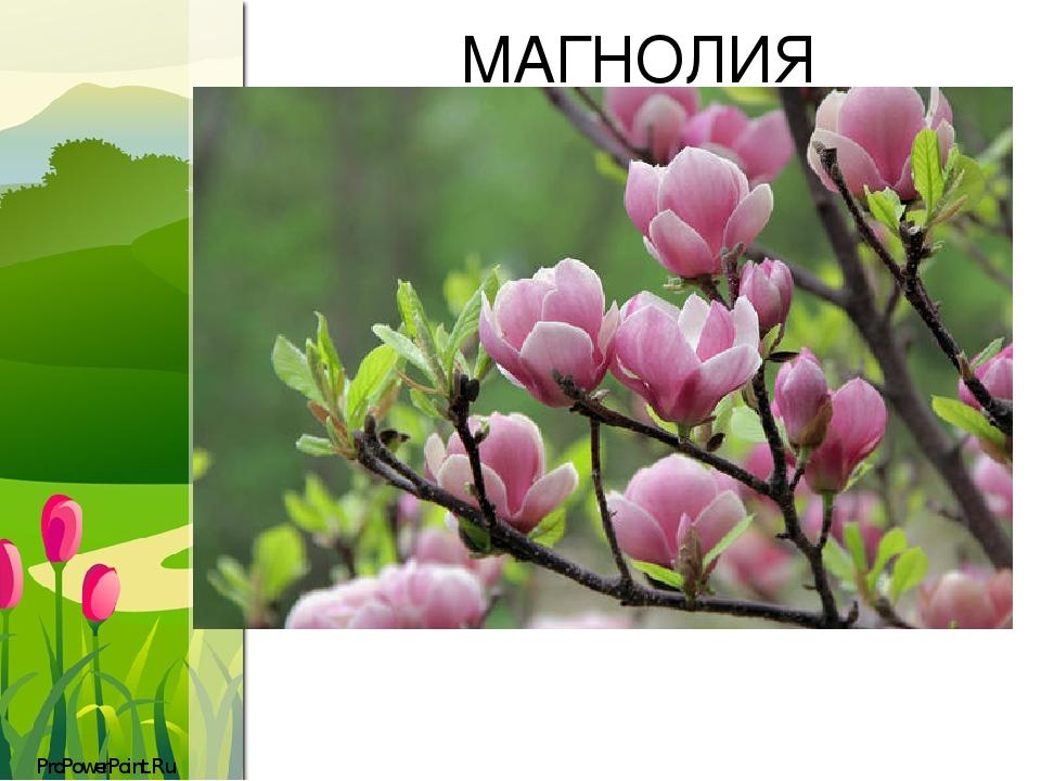 МАГНОЛИЯ ProPowerPoint.Ru