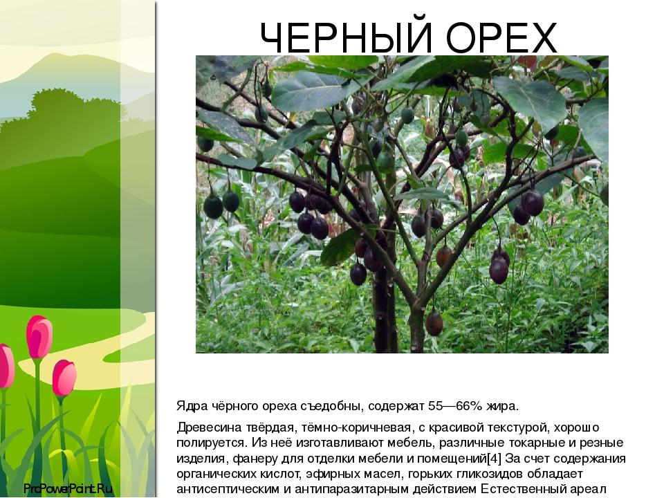 ЧЕРНЫЙ ОРЕХ Ядра чёрного ореха съедобны, содержат 55—66% жира. Древесина твёрдая, тёмно-коричневая, с красивой текстурой, хорошо полируется. Из неё...