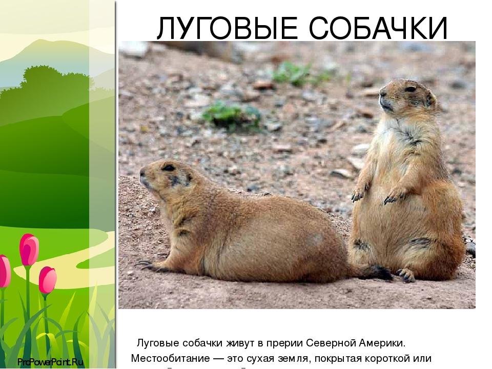 ЛУГОВЫЕ СОБАЧКИ Луговые собачки живут в прерии Северной Америки. Местообитание— это сухая земля, покрытая короткой или средней длины травой. ProPo...