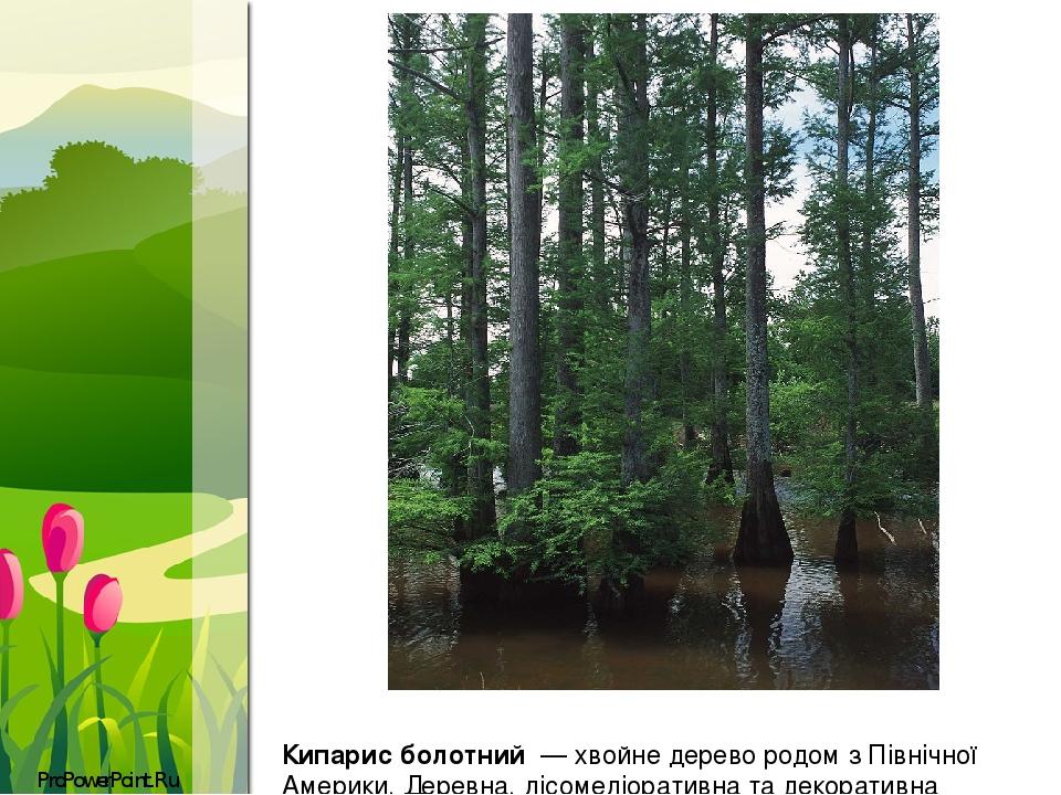 Кипари́с боло́тний—хвойне дерево родом з Північної Америки. Деревна, лісомеліоративна та декоративна культура. ProPowerPoint.Ru
