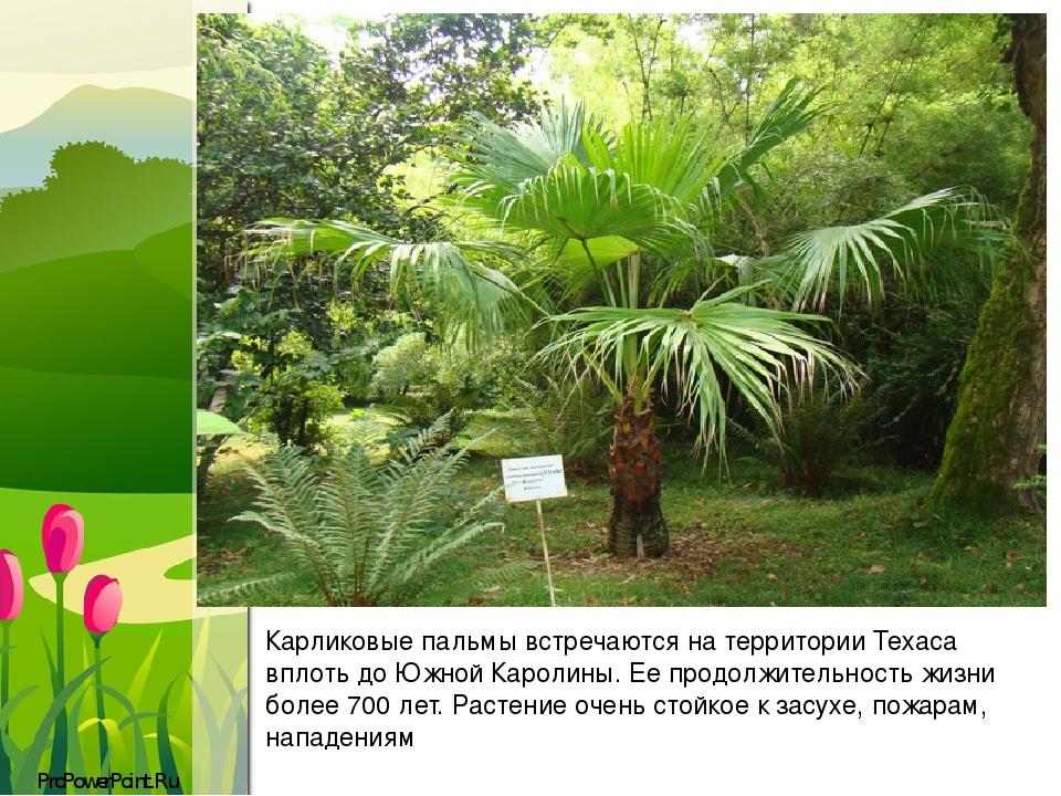 Карликовые пальмы встречаются на территории Техаса вплоть до Южной Каролины. Ее продолжительность жизни более 700 лет.Растение очень стойкое к зас...